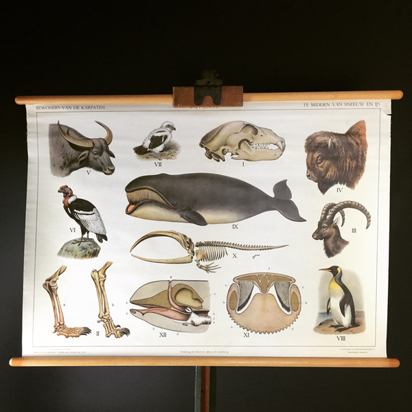 Original School Natural History Poster From The Netherlands