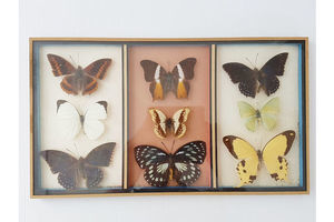 Thumb butterfly frame entomology taxidermy cabinet of curiosity vintage 0
