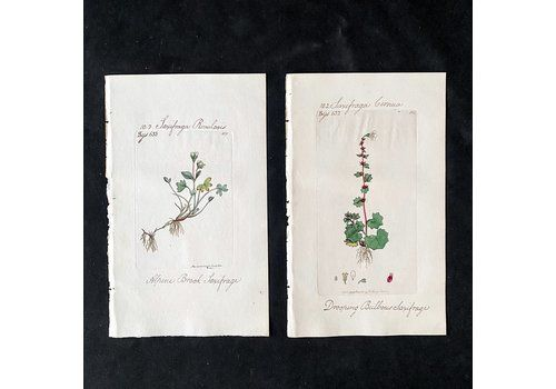 Pair Of Hand Coloured Botanical Engravings With Penmanship, 632/633