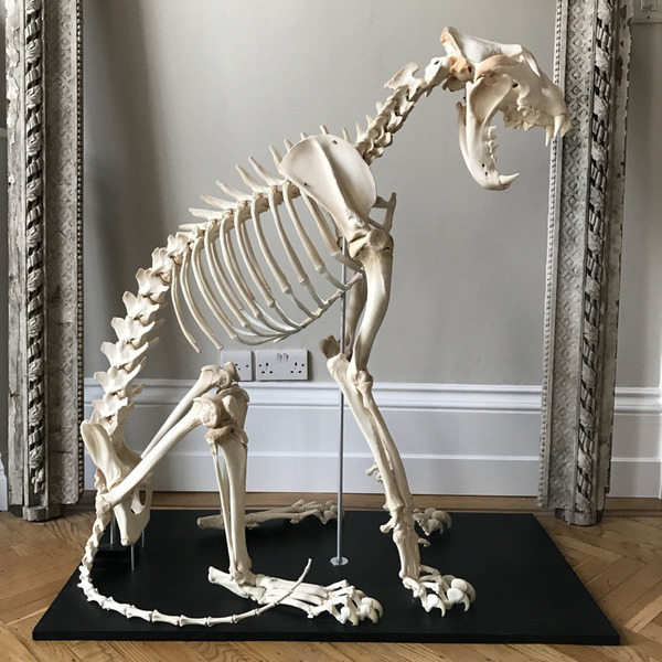 Lioness Skeleton